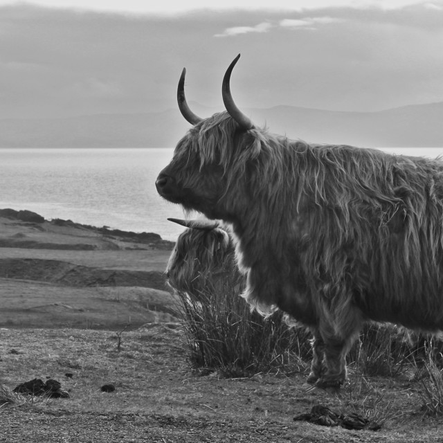 """Highland cows of Applecross"" stock image"