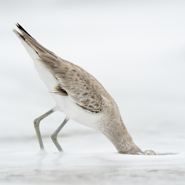 """Willet Head Dunk"" stock image"