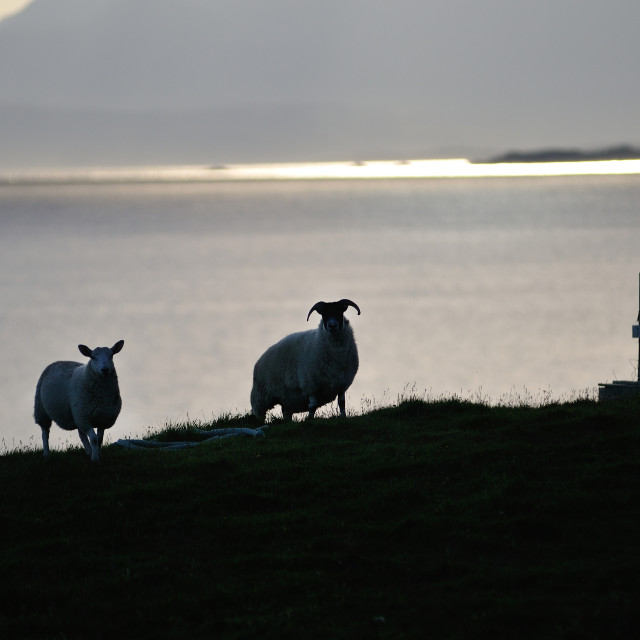 """Sheep arriving to graze - Isle of Skye"" stock image"