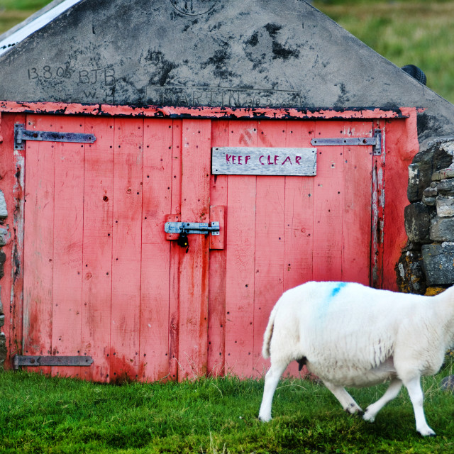 """Sheep moves past a boat shed at Staffin, Isle of Skye"" stock image"