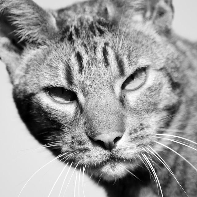 """Bengal Cat"" stock image"