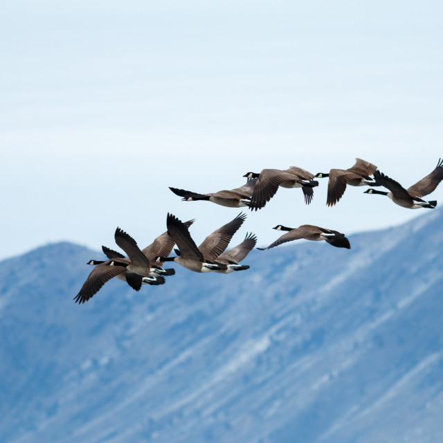 """Canada geese taking off"" stock image"