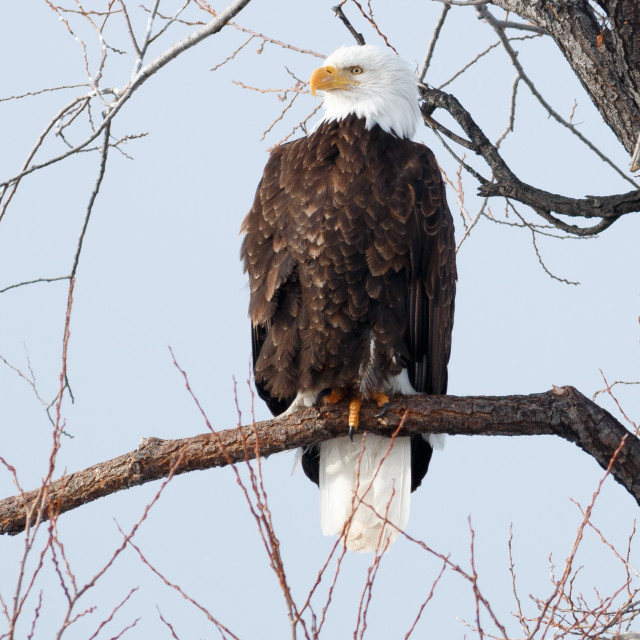 """""""Bald eagle sitting on a branch"""" stock image"""