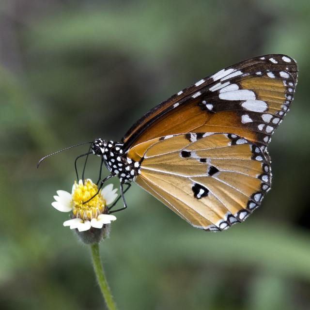 """Butterfly Plain Tiger (Danaus chrysipus) (III)"" stock image"