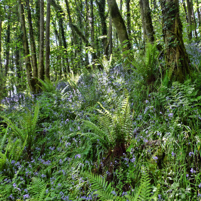 """Old Kea Bluebell Woods"" stock image"