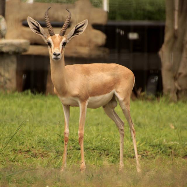 """Antelope #ReserveAfrica"" stock image"
