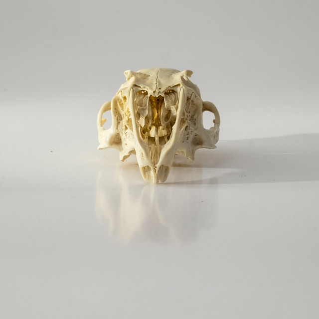 """Rabbit Skull"" stock image"