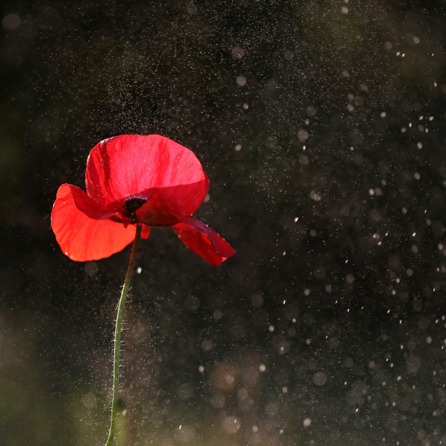 """Red lonely poppy"" stock image"