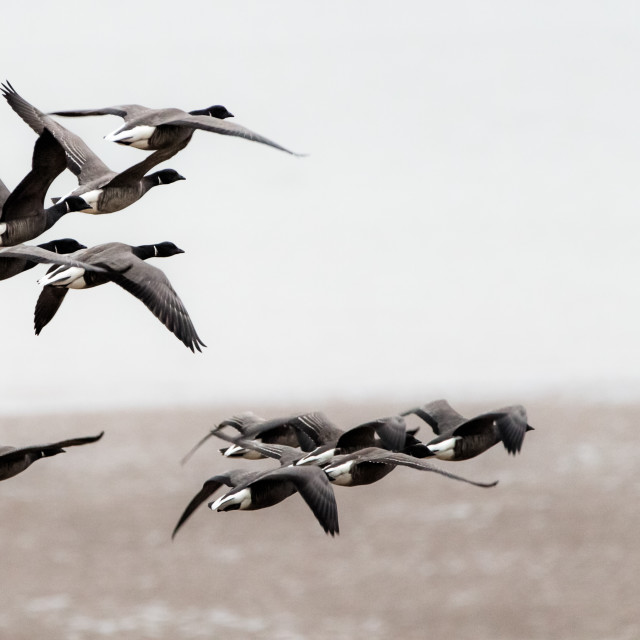 """Brent geese flying"" stock image"