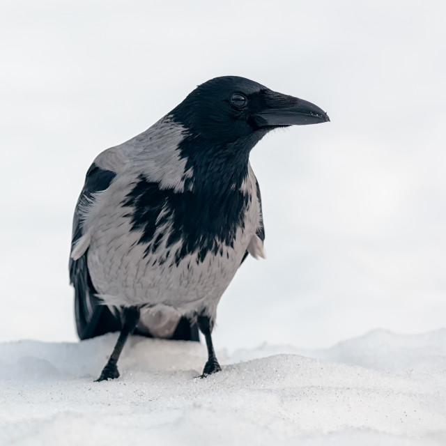 """Crow on snow"" stock image"