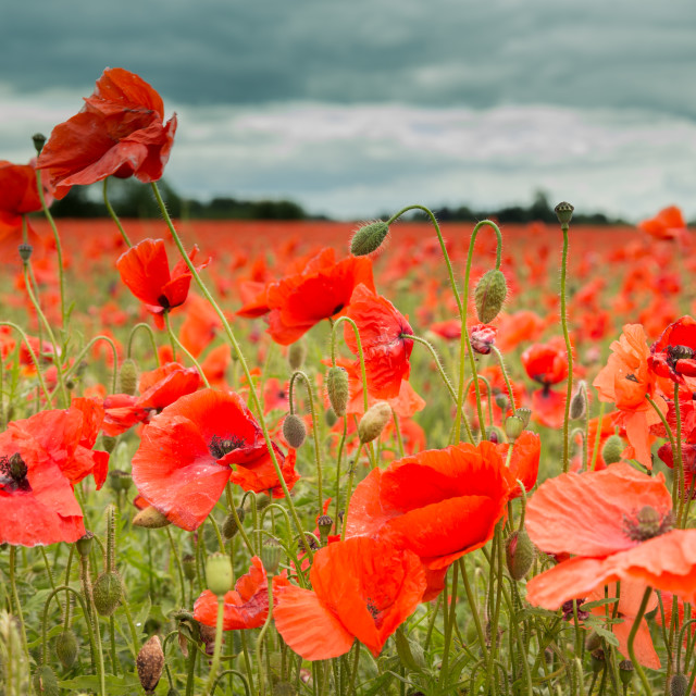 """Poppies in bloom"" stock image"