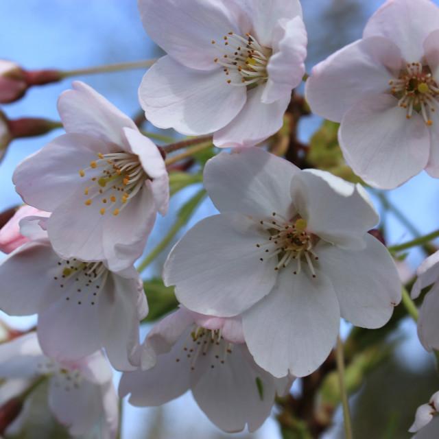 """Exbury Cherry Blossom"" stock image"