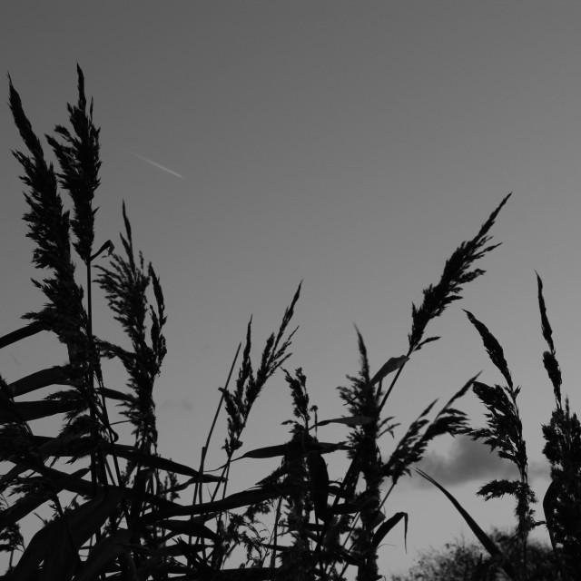 """Grass Sillouette"" stock image"