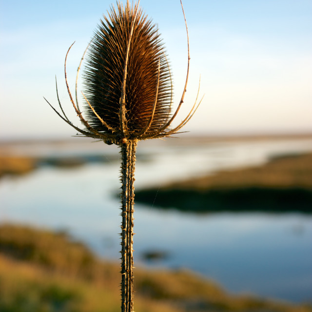 """Keyhaven Teasel"" stock image"