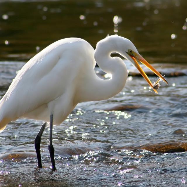 """""""Feeding Egret"""" stock image"""