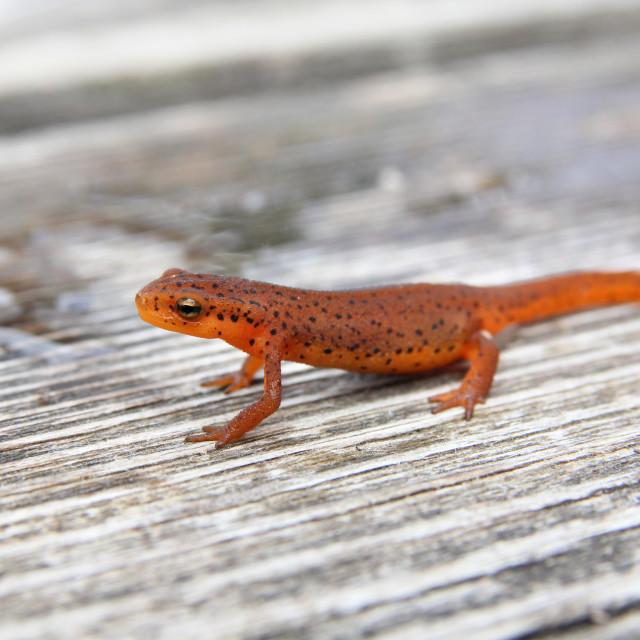 """""""Orange Newt"""" stock image"""