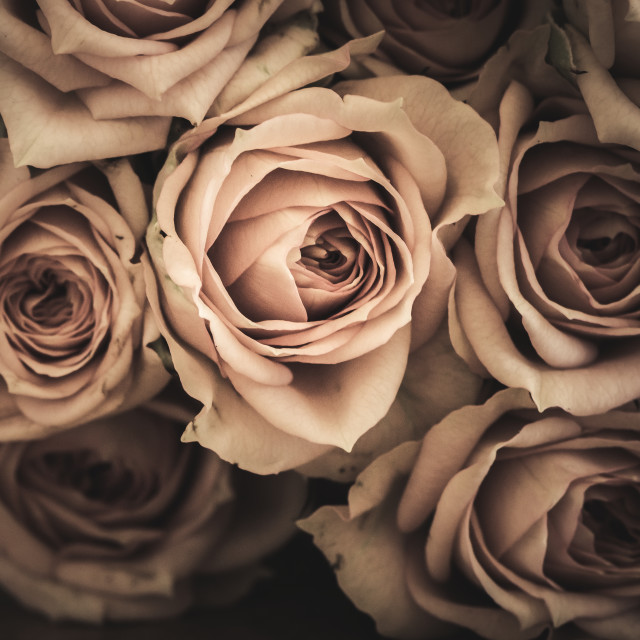 """""""Moody Roses"""" stock image"""