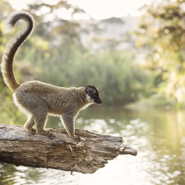 """Lemur in their natural habitat, Madagascar."" stock image"