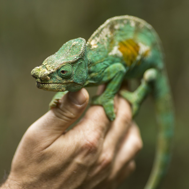 """Closeup of a cameleon in his natural habitat staying on a man hand, Madagascar."" stock image"
