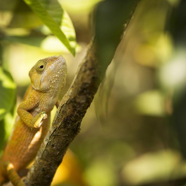 """Closeup of a cameleon in his natural habitat, Madagascar."" stock image"