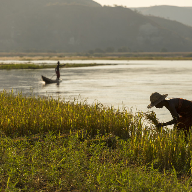 """Woman working on field of rice in Madagascar, Africa with a fisherman in..."" stock image"