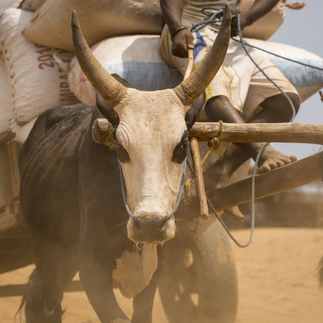 """""""The man goes on the cart harnessed by bulls. Madagascar, Africa"""" stock image"""