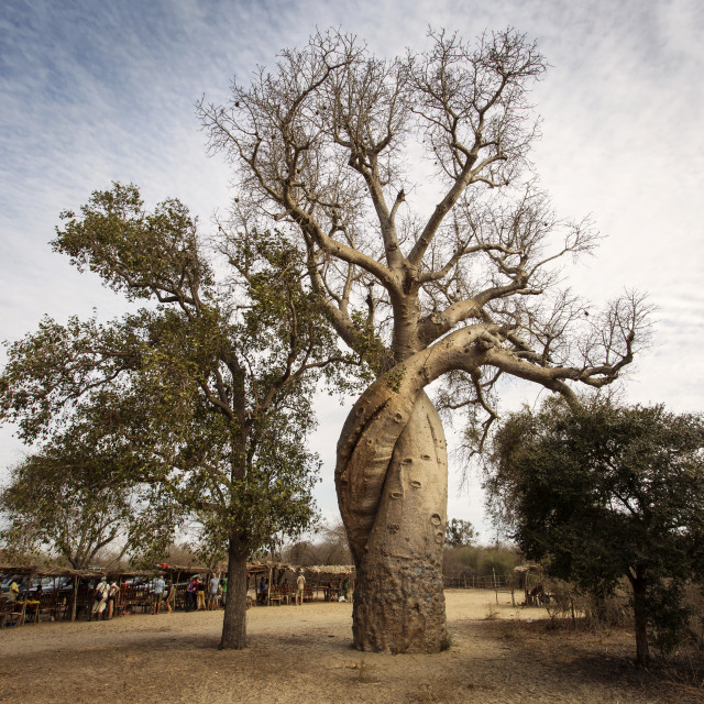 """""""Baobab love in Madagascar with beautiful clouds in background. Madagascar,..."""" stock image"""