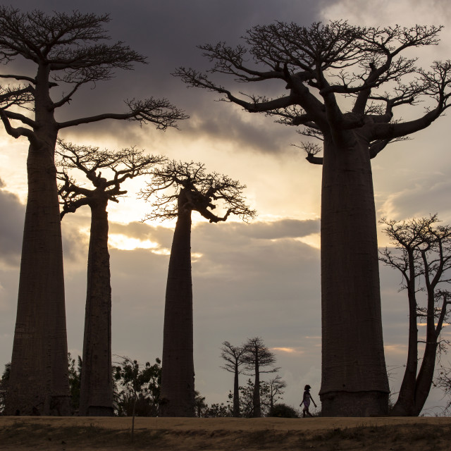 """""""Baobab Alley in Madagascar, Africa. Beautiful and colourful landscape with..."""" stock image"""