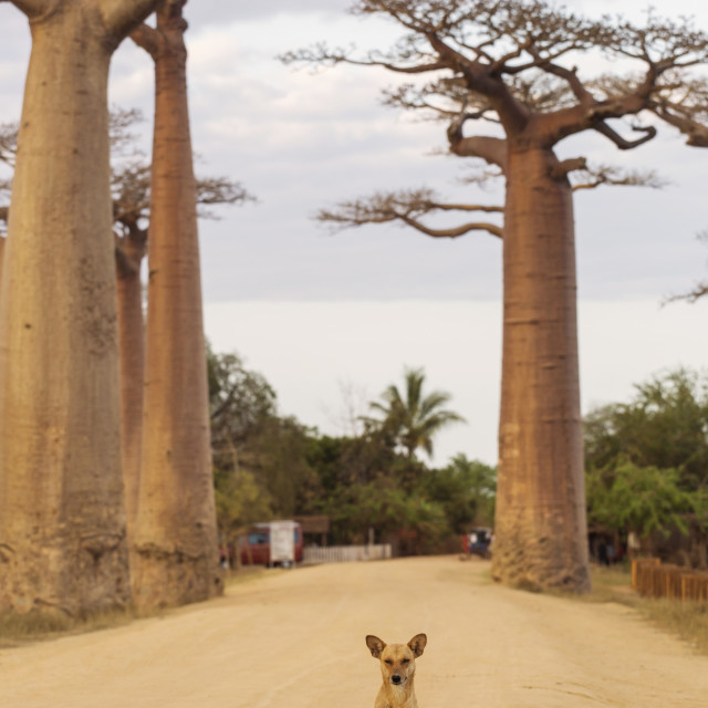 """Baobab Alley in Madagascar, Africa. Dog staying on baobab alley."" stock image"