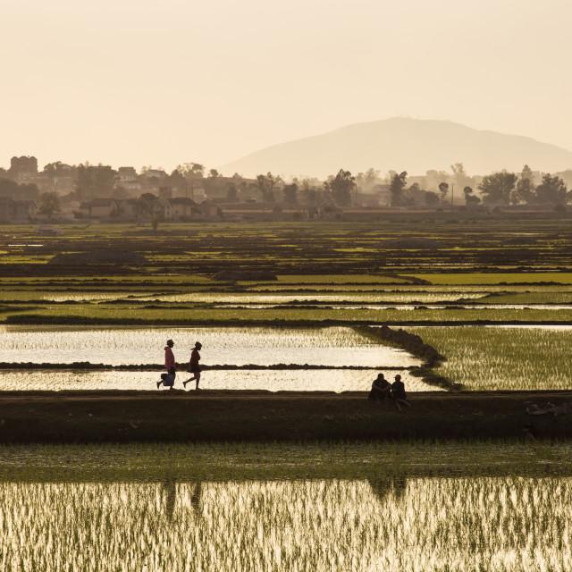 """Rice fields of Madagascar"" stock image"