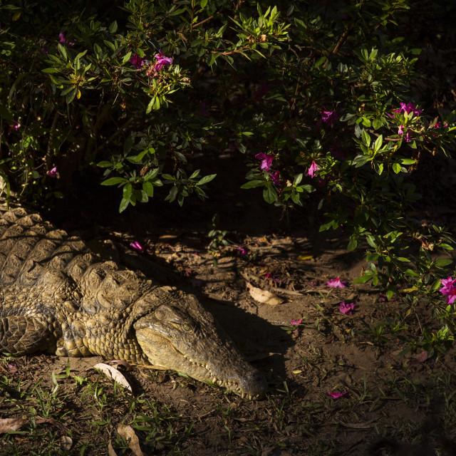 """Portrait Madagascar Crocodile, Crocodylus niloticus madagascariensis, Madagascar"" stock image"