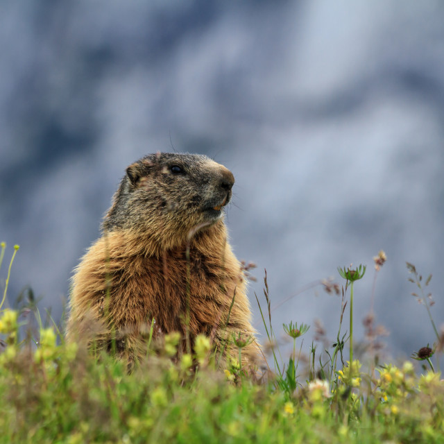 """young marmot on alpine meadow"" stock image"
