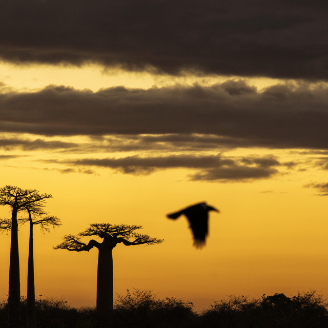 """""""Baobab Alley in Madagascar, Africa. Beautiful and colourful landscape with baobab in background."""" stock image"""