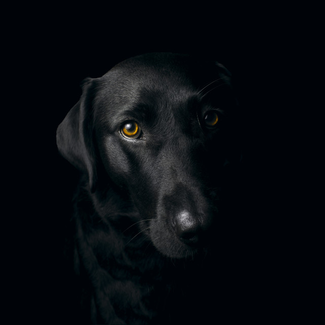 """Black Labrador portrait"" stock image"