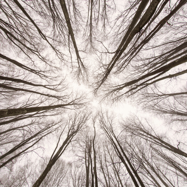 """View the forest from below in winter time"" stock image"