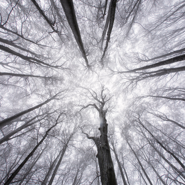 """Snowy trees in a forest viewed from below in the winter."" stock image"