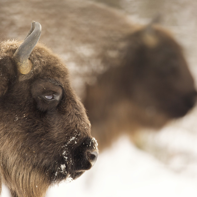 """Bison winter day in the snow"" stock image"