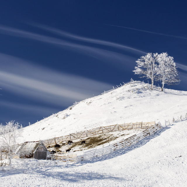 """Single tree in frost and landscape in snow against blue sky. Winter scene."" stock image"