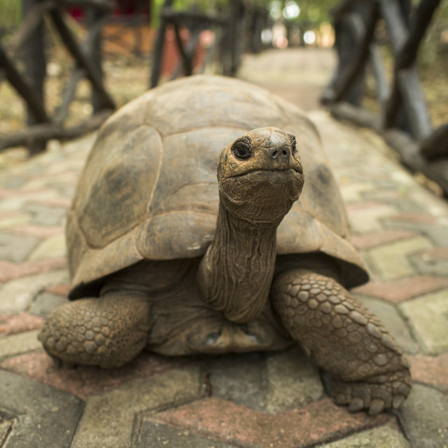 """""""An Aldabra giant tortoise looks out from its shell on Prison Island off..."""" stock image"""