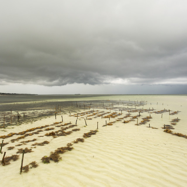 """Seaweed plantation in ocean of India in Zanzibar with storm clouds."" stock image"