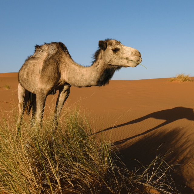 """Side of camel with shadow on the ground, Morocco"" stock image"