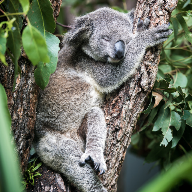 """Sleeping Koala"" stock image"