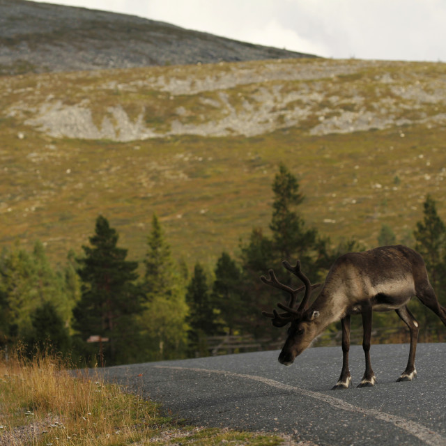 """Reindeer on the drive way"" stock image"