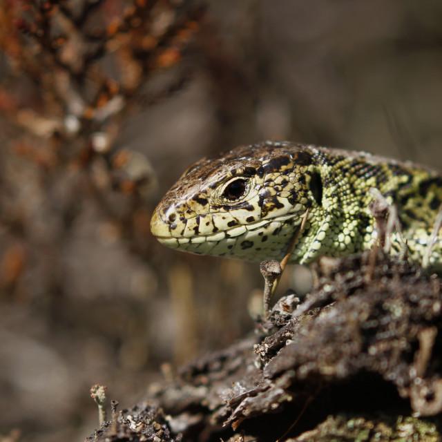 """Sand lizard"" stock image"
