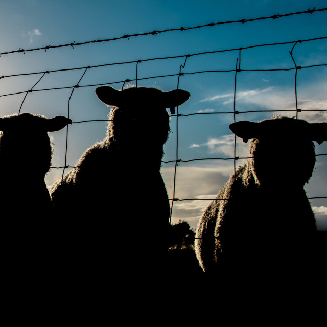 """Sheep in Shadow."" stock image"