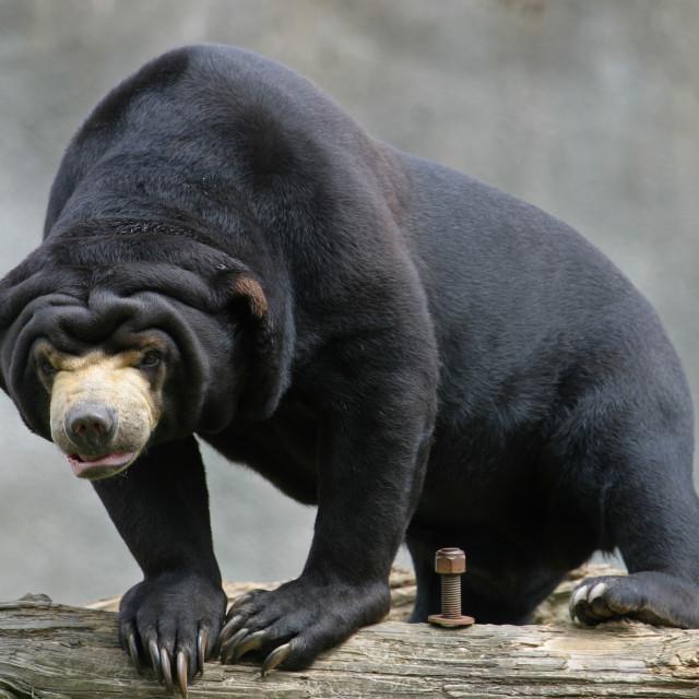 """Sun Bear on Log"" stock image"