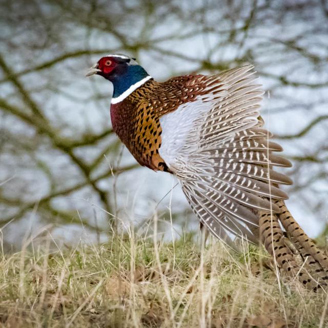 """""""Shooting Pheasant"""" stock image"""