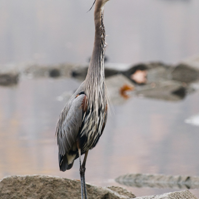 """""""Great Blue Heron Standing Tall"""" stock image"""