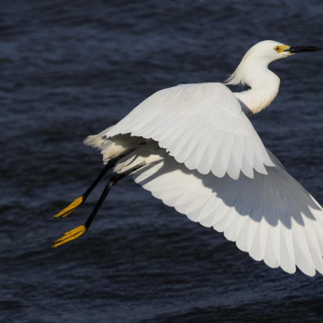 """Snowy Egret Takeoff"" stock image"