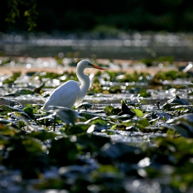 """""""Sunrise Great Egret"""" stock image"""
